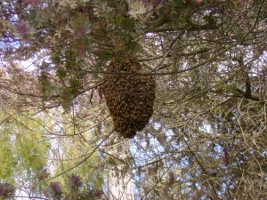 We had a swarm of bees come through our neighborhood.  The kids loved it!